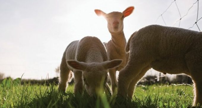 UK Becomes Net Exporter of Lamb