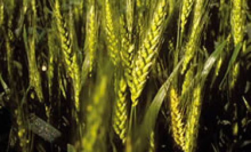 USDA: $3.4m in funding for Wheat Research