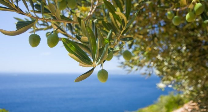 Olive Leaf Extract – Cardiovascular Support Inspired By Healthy Mediterranean Diet