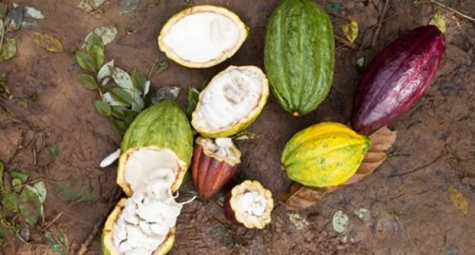 Cocoa genetics: Mars unlocks sequence to higher yields and tastier chocolate