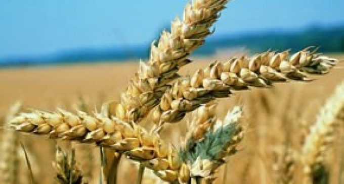 Viogerm®:  The real treasure of wheat