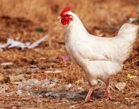 Avian Influenza – Biosecurity Measures Key to Protecting Poultry Farms