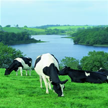 LakelandDairiesCows