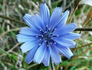 Chicory-1