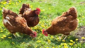 cage-free_chicken