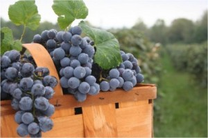 concord-grapes