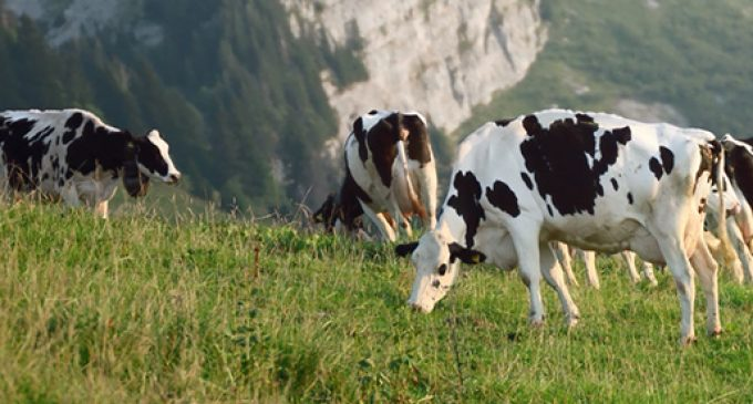 Swiss Cows Help Henniez to Produce Green Energy