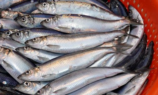 New Herring Season Gets Underway