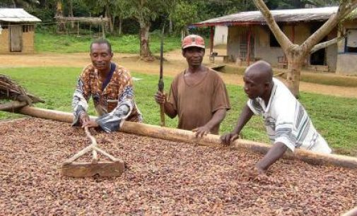 Cameroonian Cocoa Sector Makes Good Strides in Sustainable Production