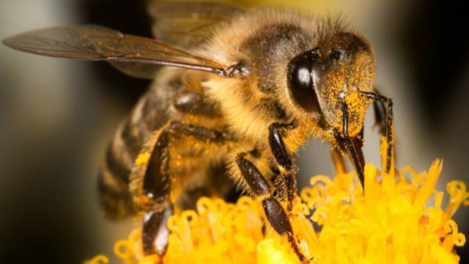New Medicine to Protect Honey Bees Against Varroa Mites