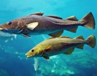 End to Time-at-sea Limits For North Sea Cod Fisheries