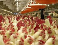 NSF International Launches Raised Without Antibiotics Certification