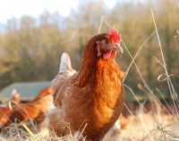Poultry Firm Slashes Antibiotic Use Through Holistic Remedies