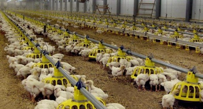 Cherkizovo Group to Strengthen its Position in Russian Poultry