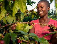 Nespresso Revives Zimbabwe's Coffee Production