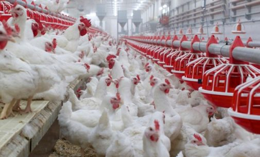 Atria Planning €130 Million Investment Project to Increase Poultry Production in Finland