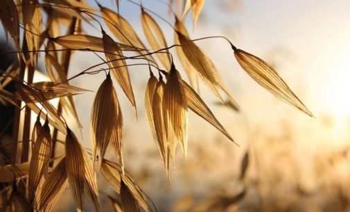 Fazer Group to Invest €30 Million in its Oat Milling Business