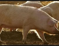 Cranswick Acquires Pig Farming Business