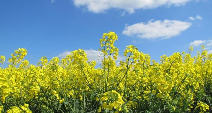 New 'Alternative' Cooking Oil Introduced