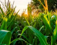 Cargill Launches the Waxy Corn Promise™