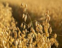 Raisio's Oat Production is Ready to Respond to Growth in International Demand
