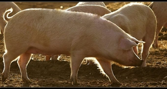 Cranswick Acquires Pig Farming Business