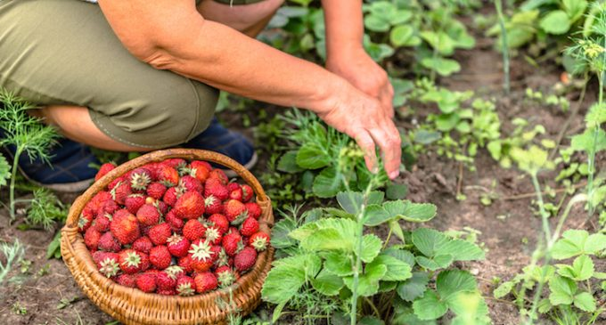 Irish government to launch recruitment campaign for fruit pickers